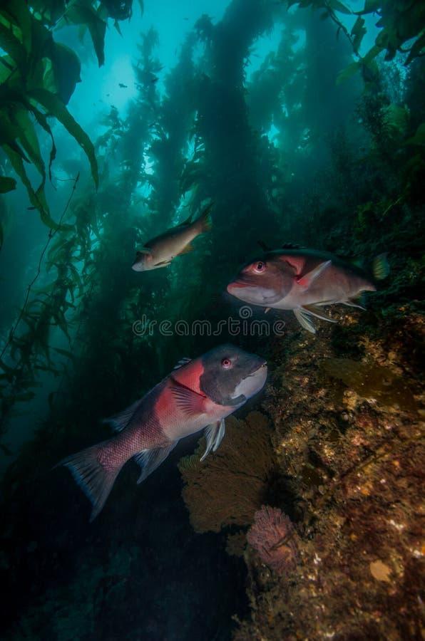 Ett par av den Kalifornien Sheephead fisken i en brunalgskog arkivbilder