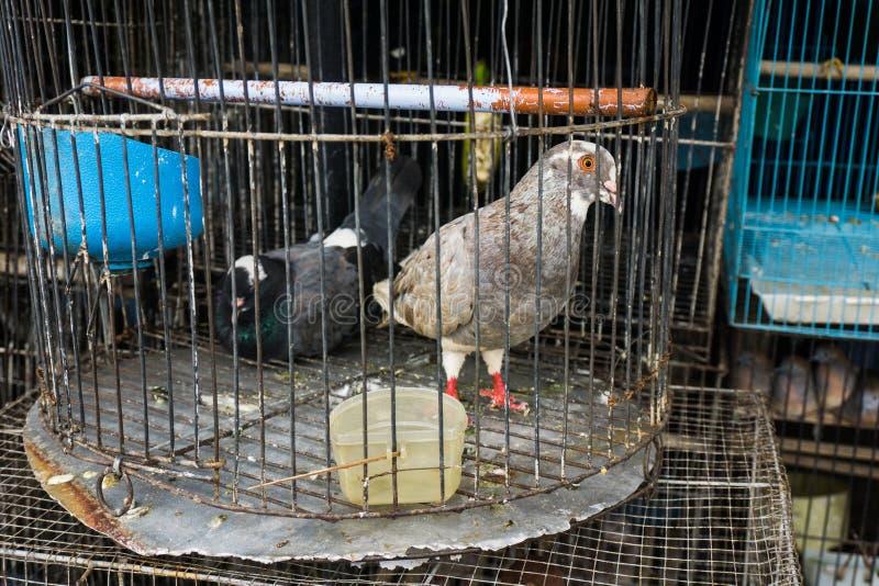 Ett par av duvan i en bur sålde på det djura marknadsfotoet som togs i Depok Indonesien arkivfoton