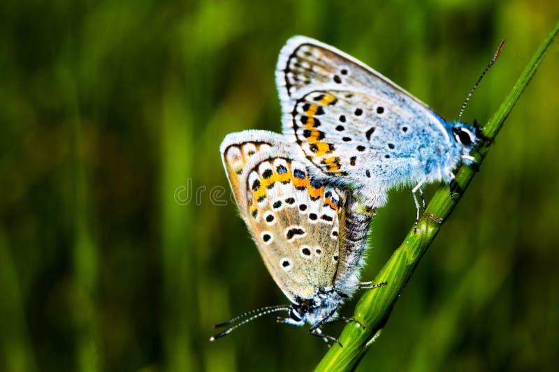 Ett par av fjärilar royaltyfria foton