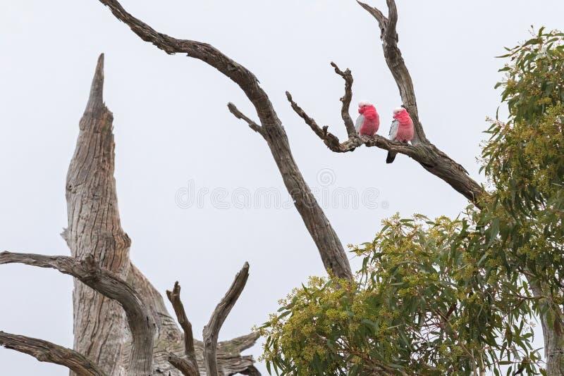 Ett par av Galah fåglar (steg den gick mot kakaduan) som sätta sig på dri royaltyfria bilder