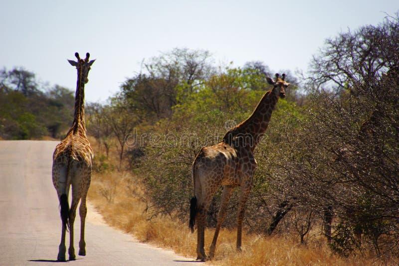Ett par av giraff som går i den Kruger nationalparken i söder royaltyfri fotografi