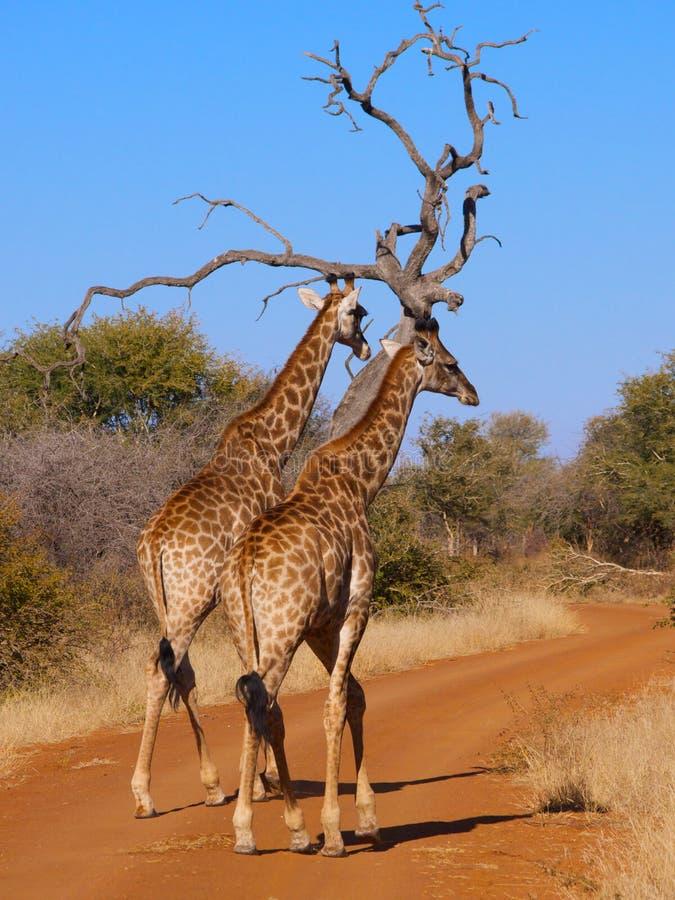 Ett par av giraffet som tar en promenad royaltyfri foto