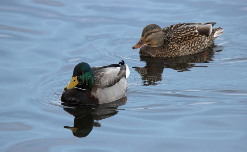 Ett par av gräsandet duckar att simma tillsammans arkivbild