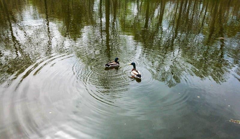 Ett par av gräsandet duckar i utsikt parkerar royaltyfri foto