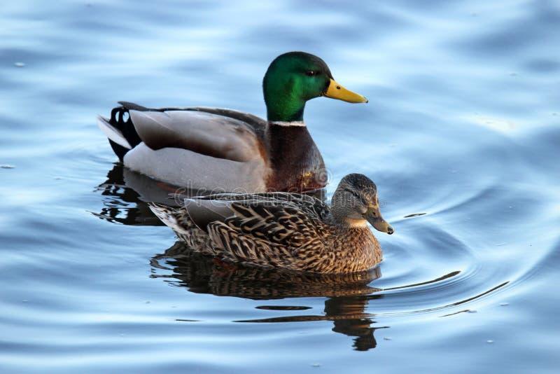 Ett par av gräsandet duckar simning på ett damm arkivfoton