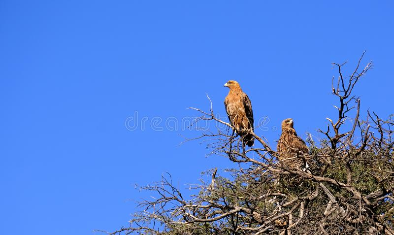 Ett par av gulbruna örnar som roosting i ett taggträd i en nationalpark i Namibia arkivfoto