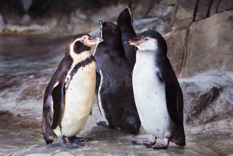 Ett par av gulliga pingvin den Humboldt pingvinet v?nder mot sig, ?r f?gelf?rh?llandet f?r?lskelse eller omsorg f?r avkommorna royaltyfria foton