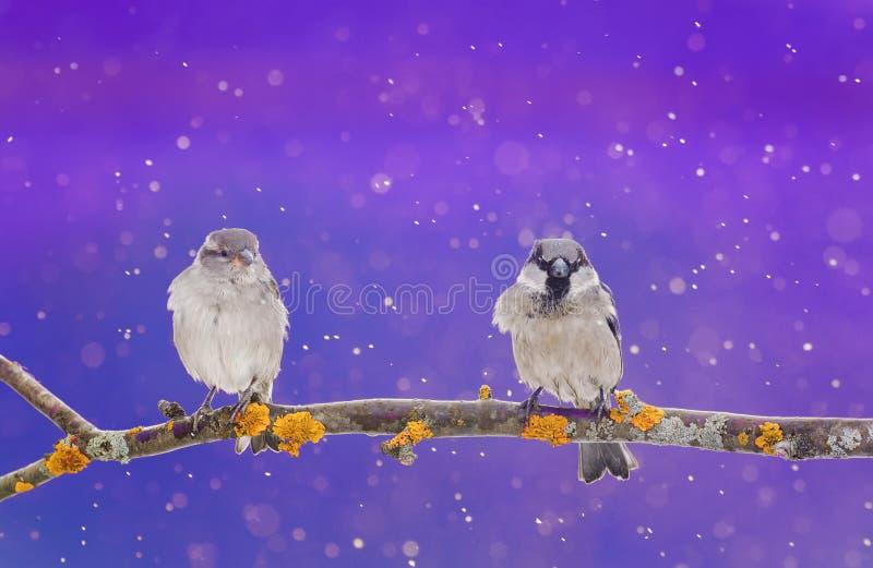 Ett par av gulliga små fåglar som sitter på en filial i vintern Chri royaltyfria bilder