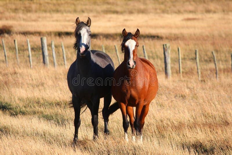 Ett par av hästar royaltyfri fotografi