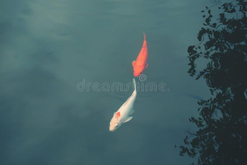 Ett par av koikarpfiskar som simmar fridfull i den gröna sjön arkivfoton