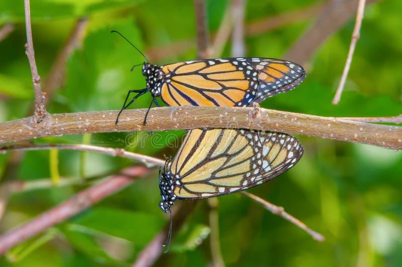 Ett par av monarkfjärilar som parar ihop på en trädfilial i fristaden för Minnesota daldjurliv nära Minneapolis, Minnesota arkivfoton