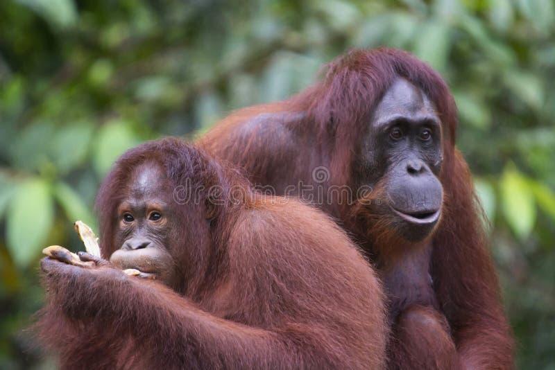 Ett par av orangutanget, Indonesien djurliv, Indonesien arkivfoton