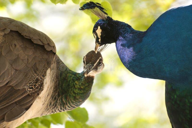 Ett par av påfågeln royaltyfri fotografi