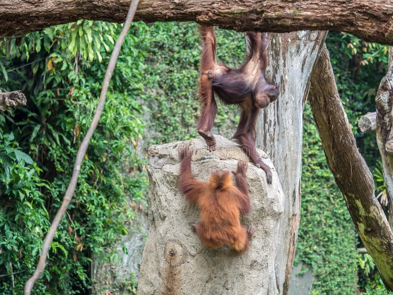 Ett par av pygmaeus för Bornean orangutangPongo hänger ut royaltyfria bilder