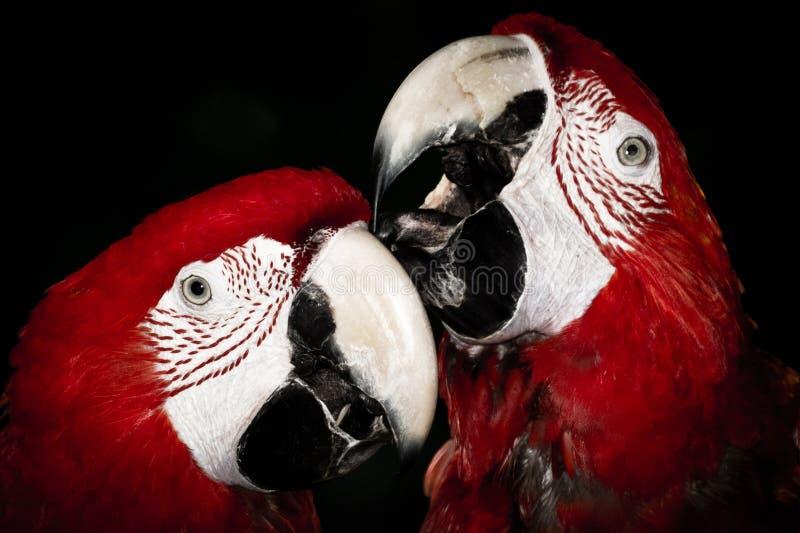 Ett par av röda papegojor royaltyfri bild