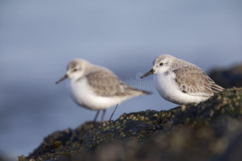 Ett par av sanderlingen som sätta sig på, vaggar längs den holländska kusten i vintern på Nordsjö arkivbild