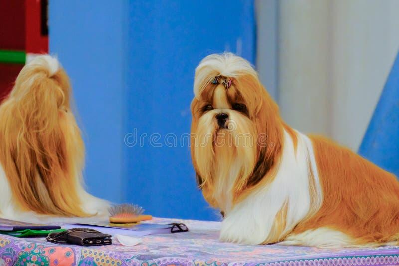 Ett par av shihtsu-hunden i en utläggning royaltyfri fotografi