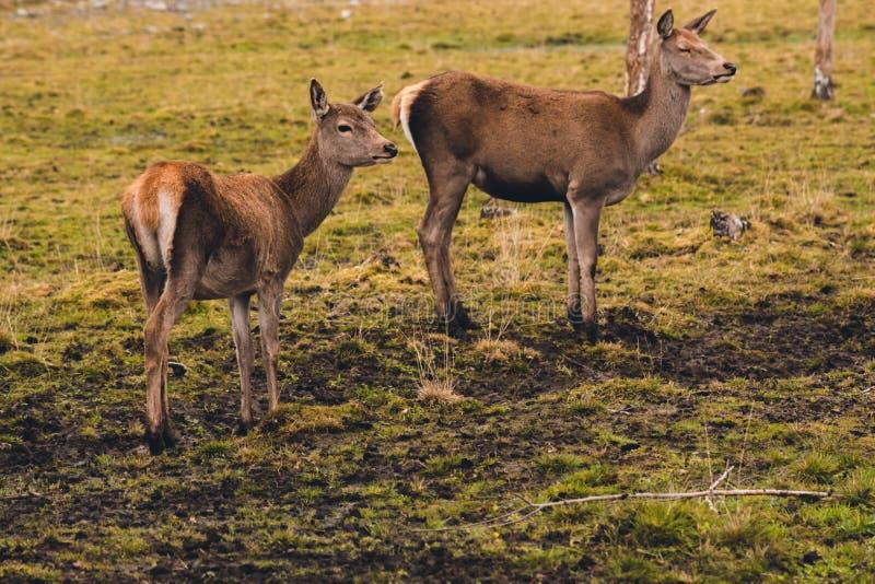 Ett par av unga hjortar, som har inte ännu fullvuxna horn, går till och med betar och stoppade på en björk som känner faran royaltyfria bilder