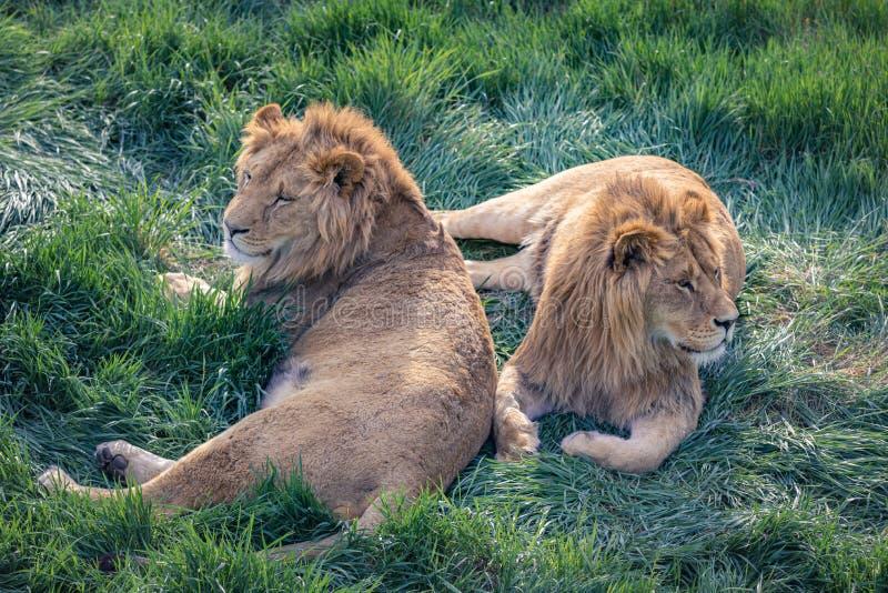 Ett par av unga lejon ligger på det gröna gräset royaltyfri bild