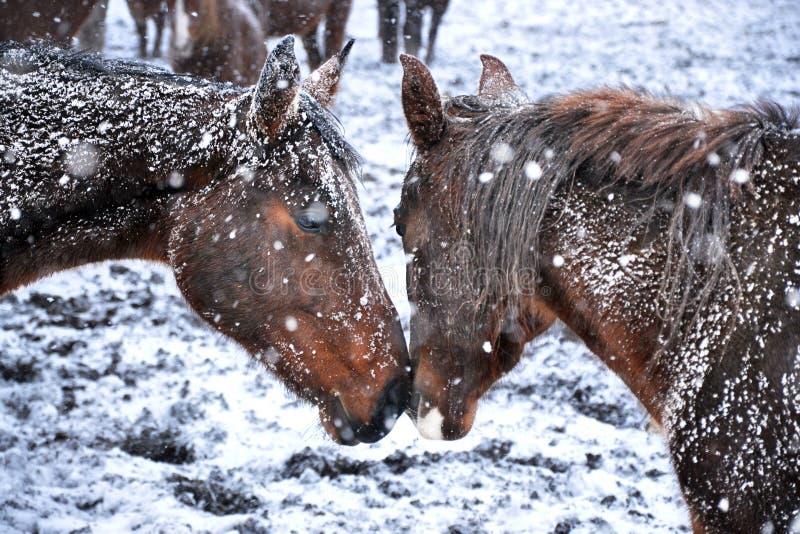 Ett par av vänner av hästar royaltyfri bild