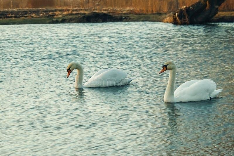 Ett par av vita svanar som svävar på sjön fotografering för bildbyråer