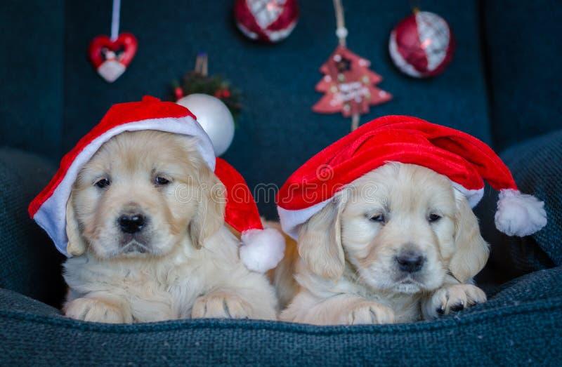 Ett par gyllene hämtningshjälpar med julhatt Merry Xmas royaltyfri bild