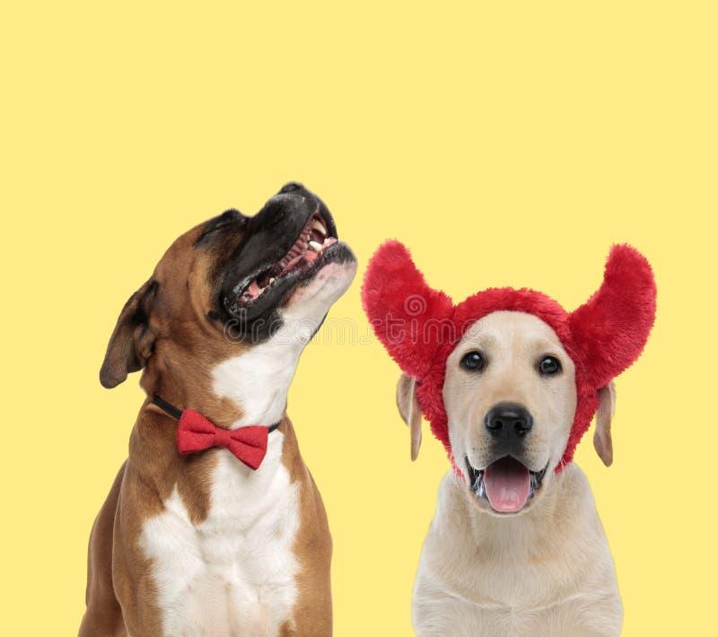 Ett par hundar som skäller i smärta och bär på djävulhorn royaltyfria foton
