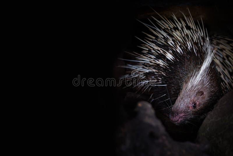 Ett piggsvin i grottahålet på svart bakgrund arkivfoto