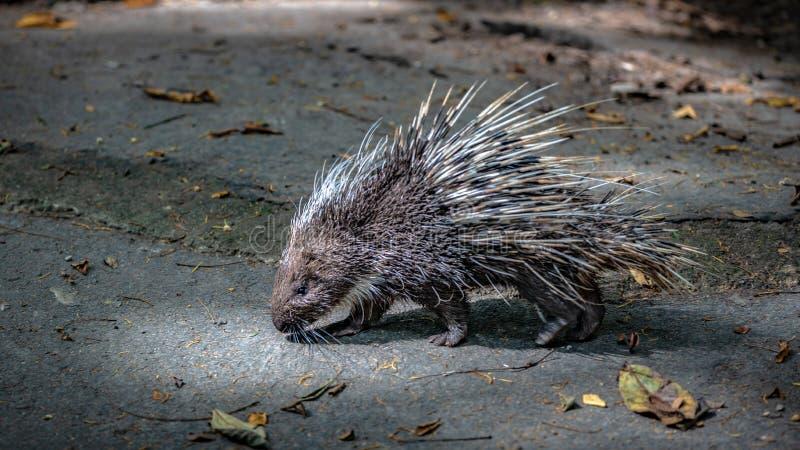 Ett piggsvingnagare och skarpt inbindningsdjurlivdjur royaltyfri bild