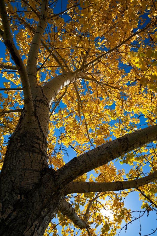 Ett poppelträd i nedgång med ljusa backlit gulingsidor arkivfoton