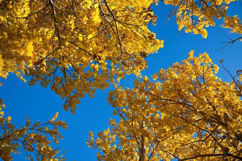 Ett poppelträd i nedgång med ljusa backlit gulingsidor arkivfoto