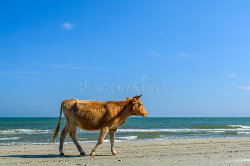 Ett prickigt gå för ko på en sandig strand Horisontalsikt av A.C. royaltyfri fotografi