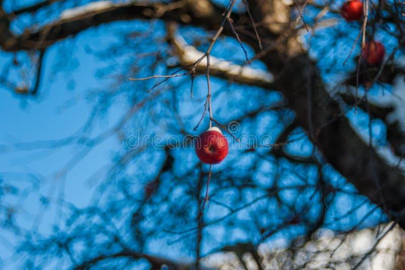 Ett rött äpple på ett träd, som synes sisten av säsongen som täckas med snö arkivfoto