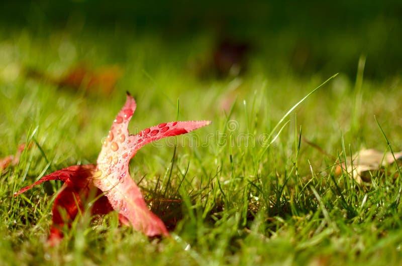 Ett rött blad för höst som ligger på grönt gräs royaltyfri bild