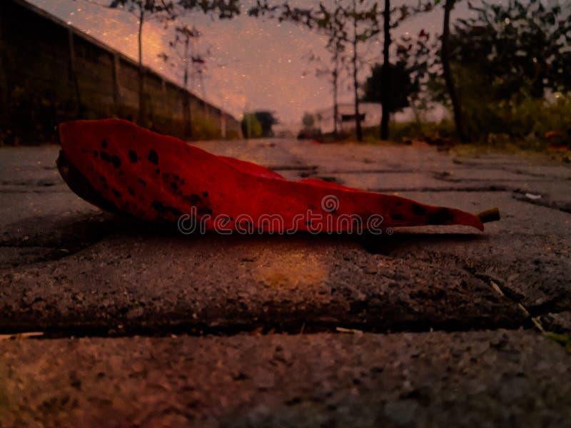 Ett rött blad som ligger på en väg tidigt på morgonen är fokuserat och redigerat arkivbilder