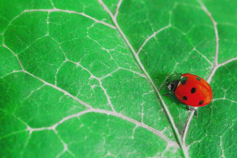 Ett rött damfel på ett grönt blad royaltyfria foton