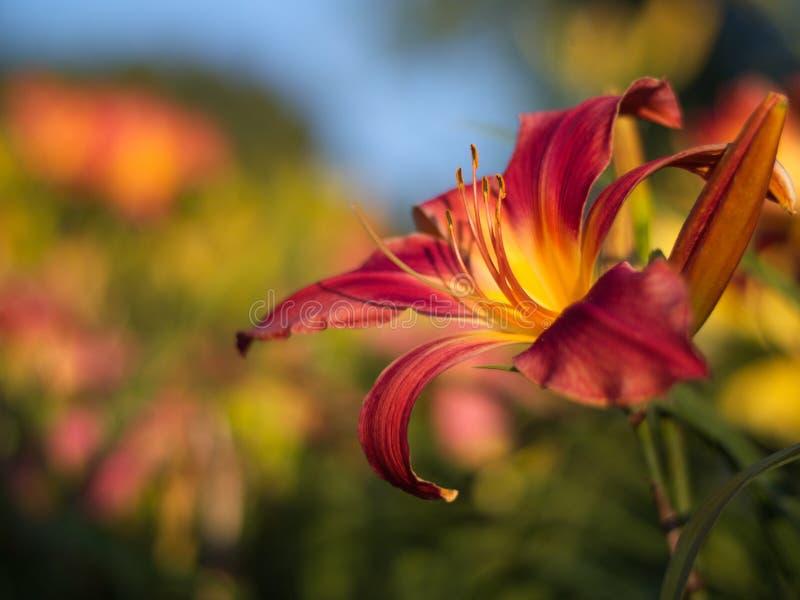 Ett rött lilly bland ett fält av blommor royaltyfria foton