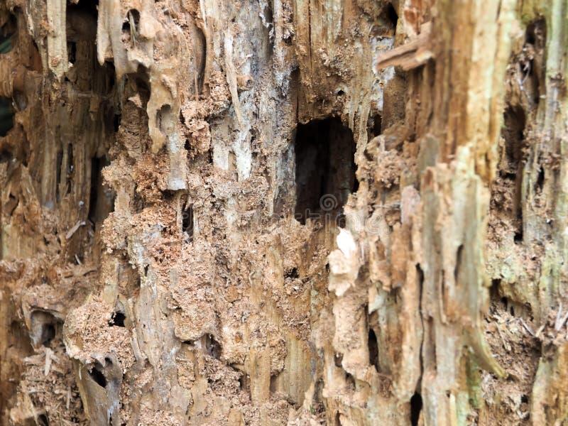Ett ruttet träd med mjöligt trä royaltyfri bild