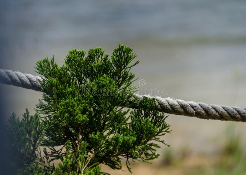 Ett sörjaträd med repet royaltyfri foto