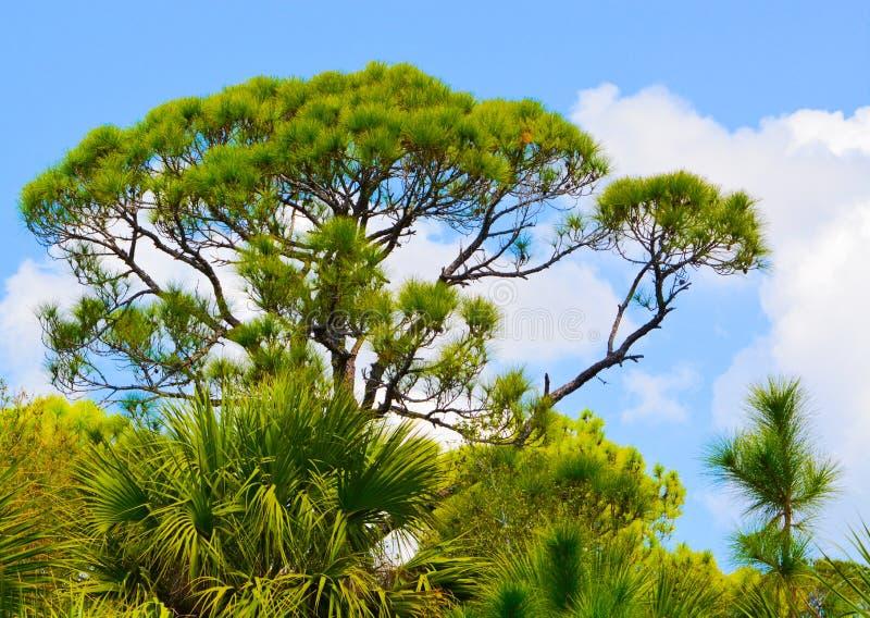 Ett sörjaträd på Cedar Point Environmental Reserve, Sarasota County Florida arkivbilder