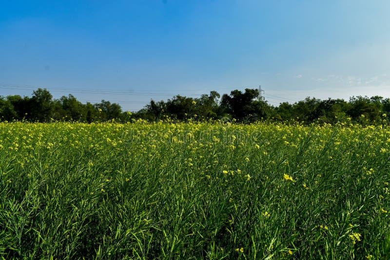 Ett senapsgult fält i Indien royaltyfri bild