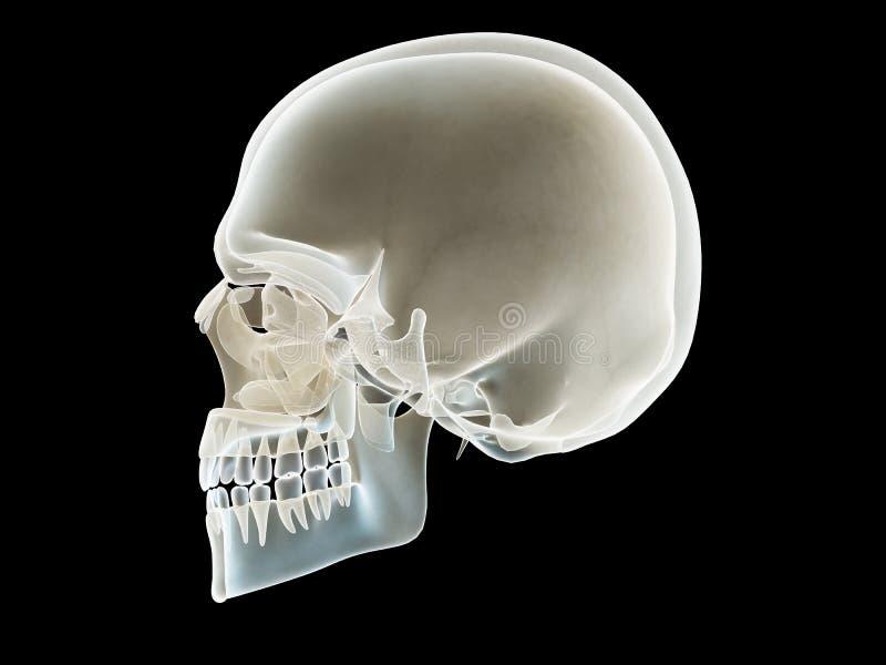 Ett sidotvärsnitt av en skalle vektor illustrationer