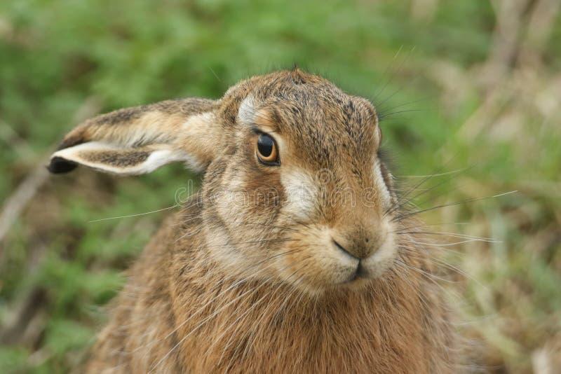 Ett skott från en fantastisk Brown Hare, Lepus europaeus, på jordbruksmark i Förenade kungariket royaltyfri bild
