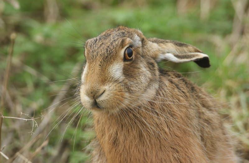 Ett skott från en fantastisk Brown Hare, Lepus europaeus, på jordbruksmark i Förenade kungariket royaltyfri fotografi