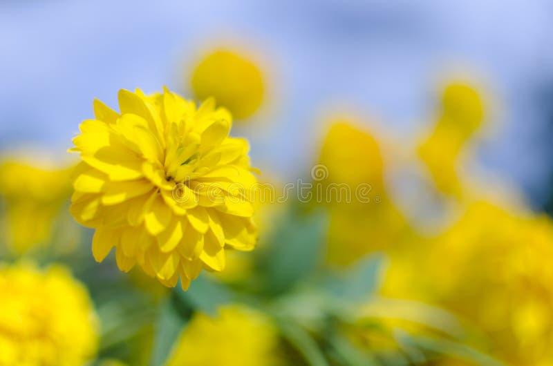 Ett slut av den ljusa soliga gula blomman namngav upp snitt-leaved coneflowerRudbeckialaciniata arkivbilder
