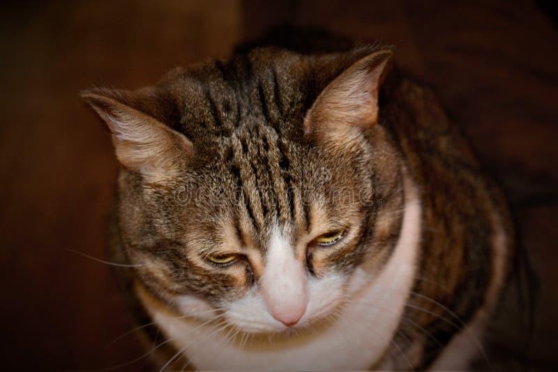 Ett slut av mina äldre strimmig kattkatter vänder mot upp royaltyfri fotografi