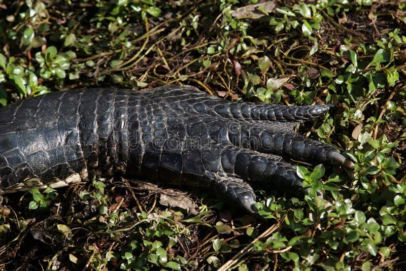 Ett slut för amerikansk alligator upp arkivbilder