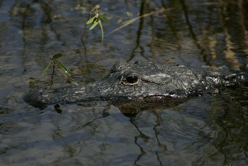 Ett slut för amerikansk alligator upp royaltyfri foto