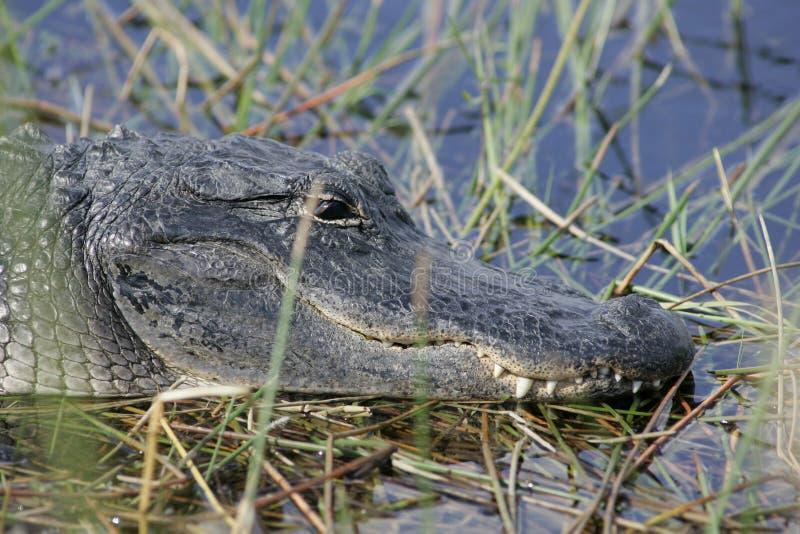 Ett slut för amerikansk alligator upp royaltyfri fotografi
