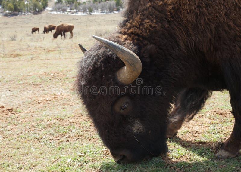 Ett slut upp av en bison som betar med andra i avståndet arkivbilder